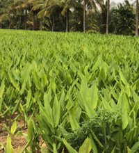 Turmeric Fields
