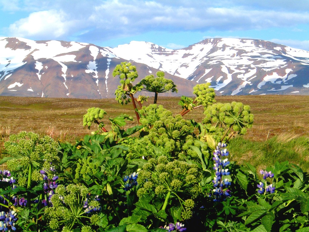 Angelica and lupines in Hrisey